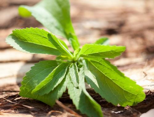 stevia plante
