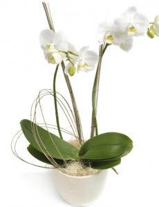 orkide til mors dag